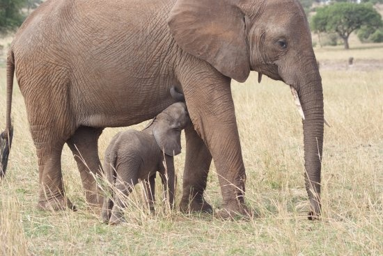 birth give young ones alive animal elephant breastfeeding animals names mama park tanzania rush tours arusha tarangire national mammalia tripadvisor
