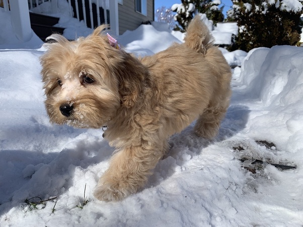 What does a full-grown teacup Maltipoo look like? - Quora