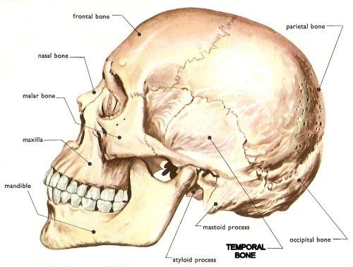 Where Is The Temporal Bone Located In The Skull