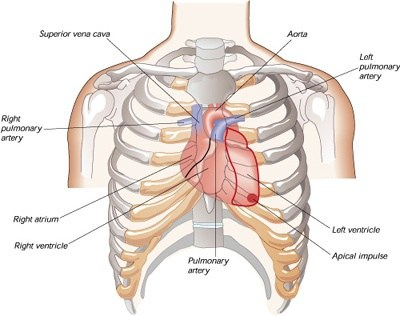 If The Heart Is Located In The Middle Of The Chest Why Is It Felt