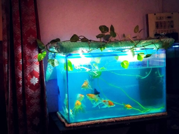 Is Money Plant In Aquarium Is Suitable For Fish Quora