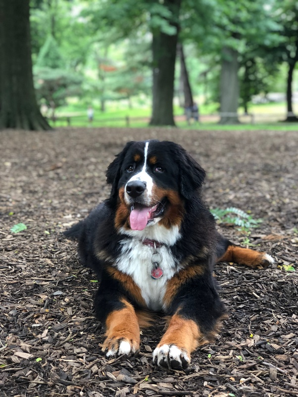 How Well Do Bernese Mountain Dogs Adjust To Living In Nyc