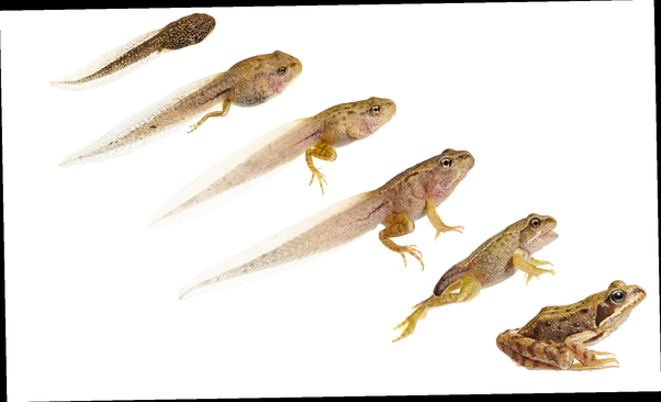 Why do tadpoles transform from herbivores into carnivores for Frog transformation
