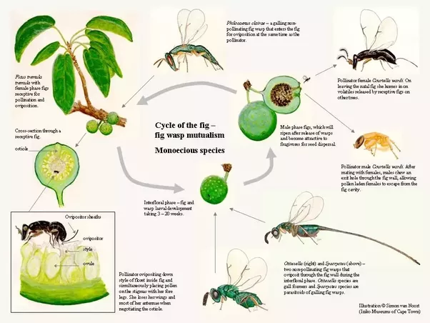 figs and wasps relationship questions