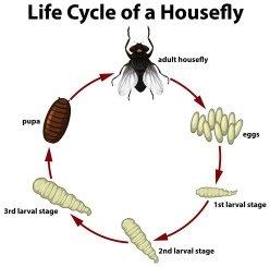 Do Flies Eat Maggots Quora