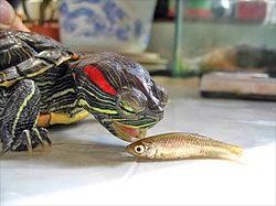 How big do slider turtles get