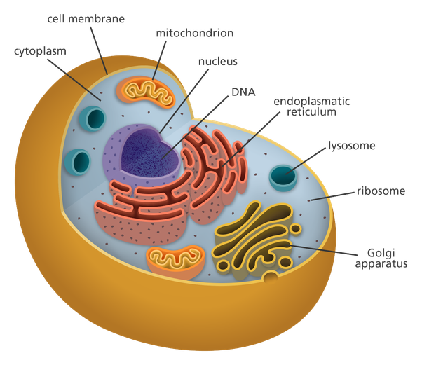 The Magic School Bus: Cell Structure |Chromosomes In Animal Cell