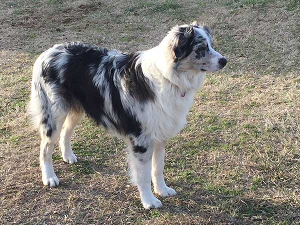 What is a blue merle Australian Shepherd? What color or