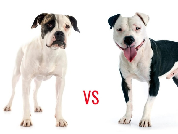 Difference Between An American Bulldog