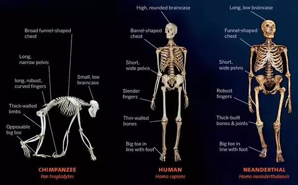 the evolution of bipedalism in lucy Who is lucy step by step  you will identify the fossil evidence for the evolution of bipedalism you will hypothesize about the evolutionary pressures affecting.