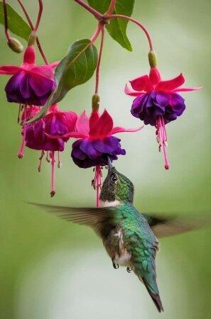 Hummingbird Hummer With Fushia