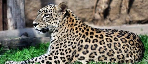 ... Jaguar Cousins By The Size Of Their U201cspotsu201d Which Are Called Rosettes,  (due To The Pale Area In The Middle). In Leopards The Rosettes Are Smaller  And U201c ...