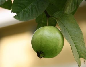 How long does guava leaves gonna reduce my big tummy? - Quora