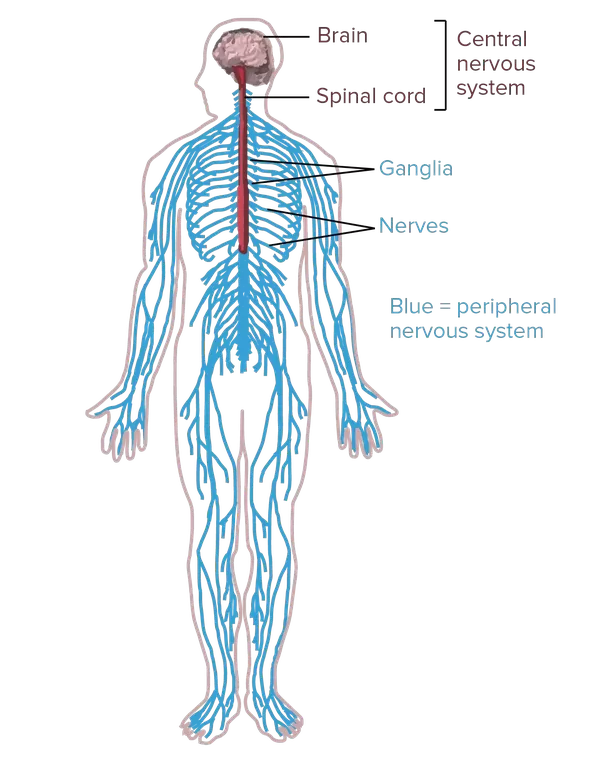 Diagram of the human nervous system.Central nervous system: portions of the nervous system in the brain and spinal cord.Peripheral nervous system: portions ...