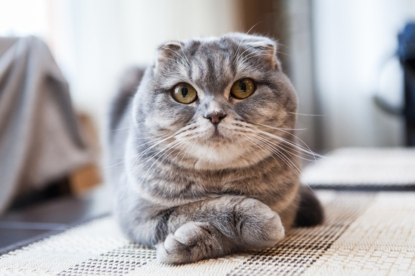 Has anyone owned a Scottish Fold cat? I have researched and a lot of