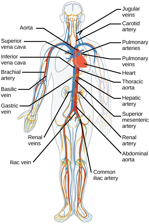 What Are Main Parts Of The Circulatory System And Their