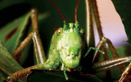 Are katydid bites harmful to humans? Why or why not? - Quora