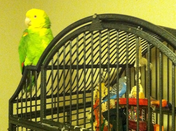 Is it true that when a budgie that is kept as a pet escapes