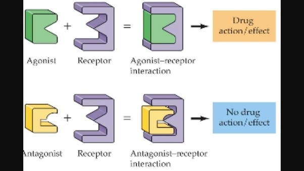 What Is The Function Of Agonist And Antagonist Neurotransmitters
