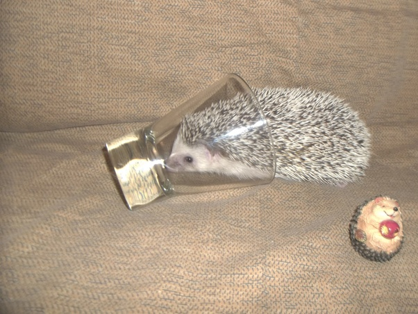 Is It Legal To Own A Hedgehog As A Pet In Australia Quora