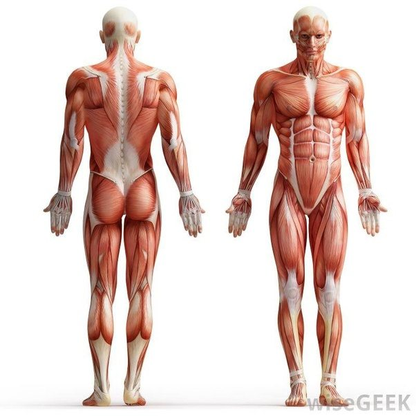 What Is Muscle And How Is It Formed Quora