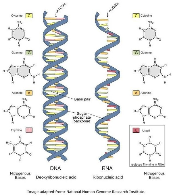Why does nature need rna quora dna and rna malvernweather Image collections