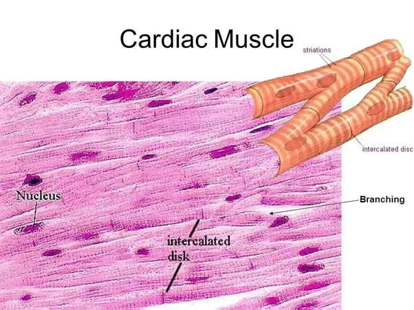 What Are Examples Of Cardiac Muscles Quora