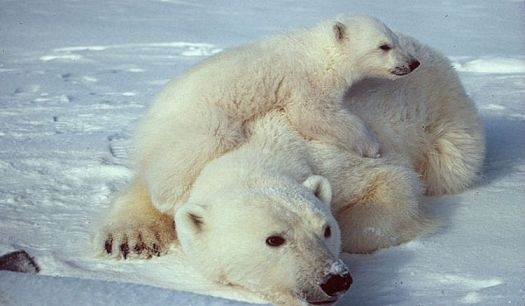 What Are Some Animals That Live In The North Pole How Do They