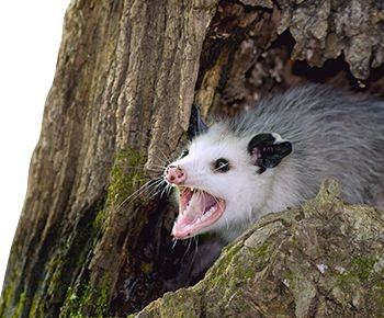 Which Would Be Worse To Invade Your Home An Opossum Or A