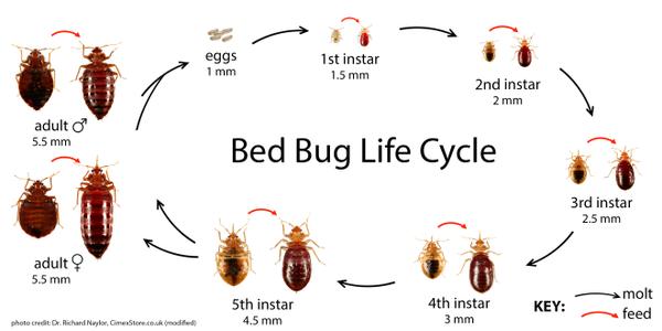 How Do Bedbugs Reproduce Quora
