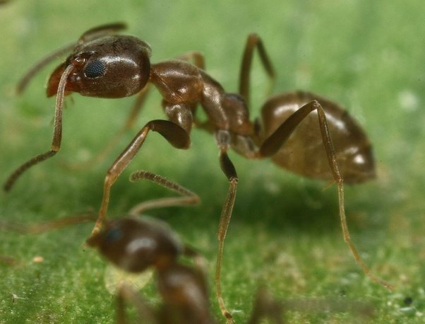 Why Do Dead Ants Attract More Ants Quora