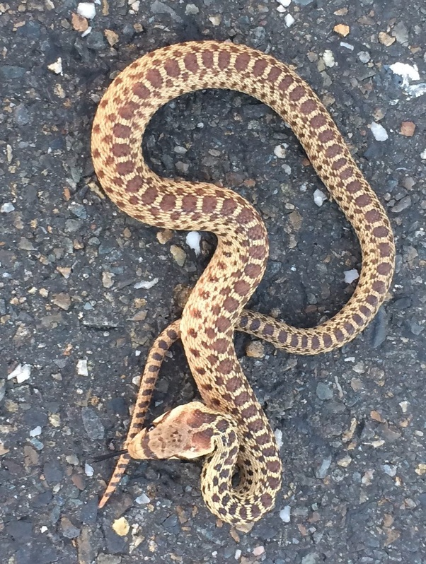 Rattlesnakes babies and adults differences final, sorry
