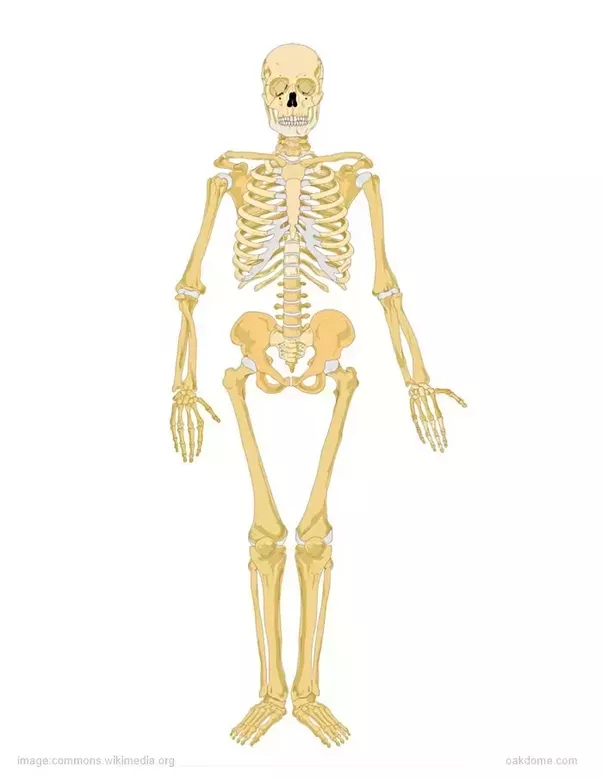 Do all humans have the same skeletal structure? - Quora