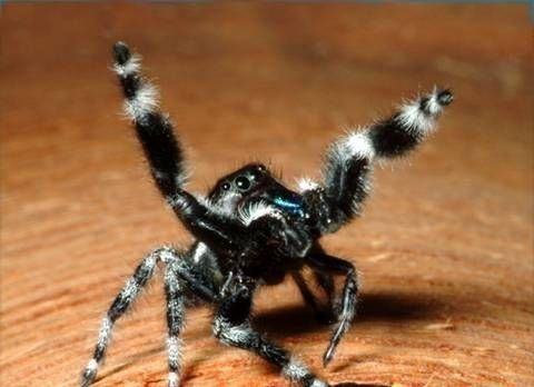 What Is Black White And Fuzzy Spider Quora