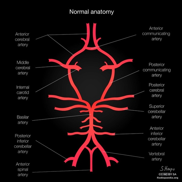 What Is The Circle Of Willis In Simple Terminology Quora