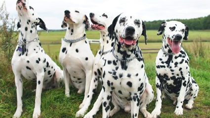 Which would cost more: taking care of 101 adult Dalmatians or one ...
