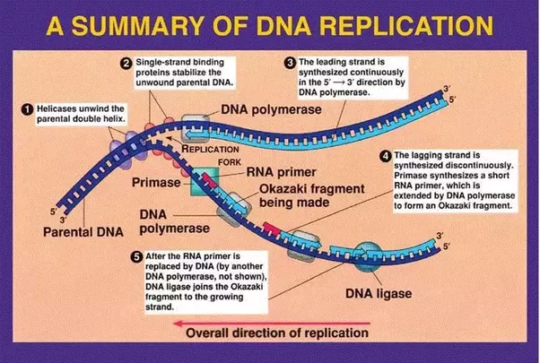 Why do okazaki fragments form quora thank you for asking this here is the picture source biochemreviewweebly ccuart Gallery