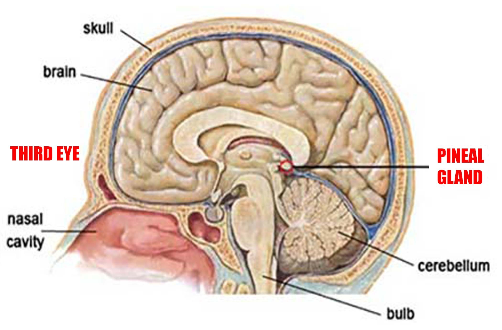 Why Pineal Gland Is Called Third Eye Quora