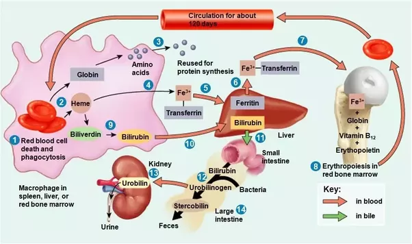 life cycle of rbc A blood cell, also called a haematopoietic cell, hemocyte, or hematocyte, is a cell produced through hematopoiesis and found mainly in the bloodmajor types of blood cells include.