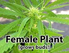 How To Know If My Marijuana Plant Is Male Or Female Quora