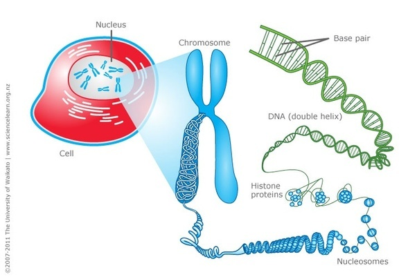What is a chromosome? - Quora