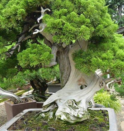 What Is The Oldest Bonsai Tree And How Much Is It Worth Quora