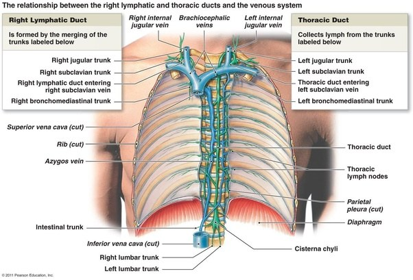 Where does lympathic fluid that is formed in the tissue spaces first ...