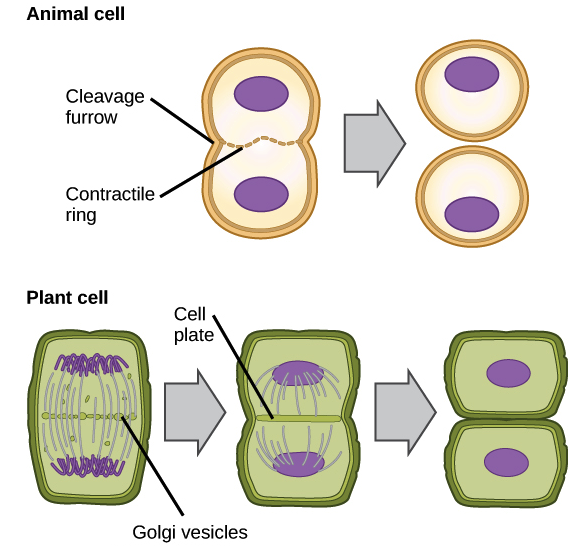 How to describe the cell cycle and what are the two main phases of in animals cell division occurs when a band of cytoskeletal fibers called the contractile ring contracts inward and pinches the cell in two ccuart Choice Image