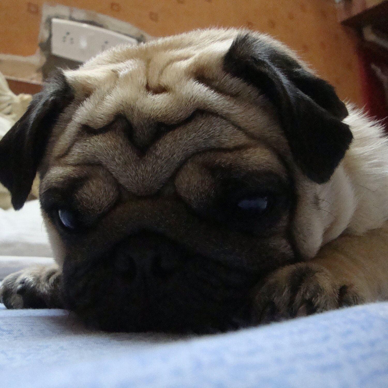 Should I Get A German Shepherd Or A Pug Quora