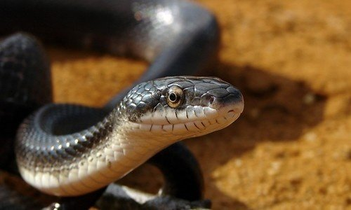 How Poisonous Is A Black Snake With A White Belly Quora