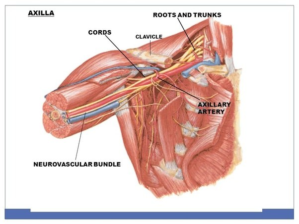Can you survive if your axillary artery gets cut? - Quora