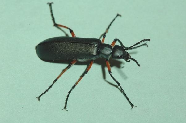 Do beetles bite people? - Quora