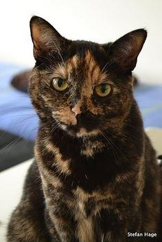 What is the difference between calico and tortoiseshell cats what are some examples quora - Images of tortoiseshell cats ...