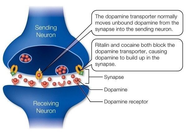 Which drugs increase dopamine levels in the human brain? - Quora